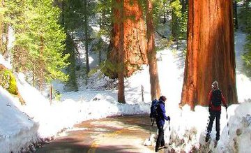 winter_in_yosemite_giant_sequoias_in_the_snow_.jpg